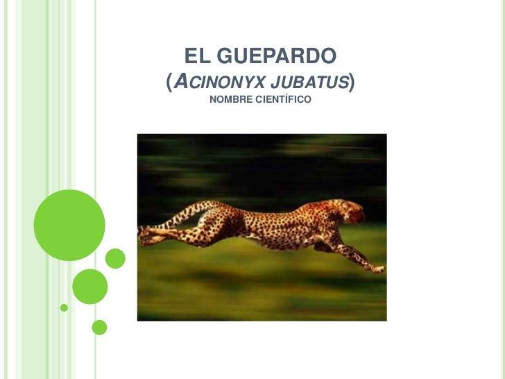 EL GUEPARDO(ACINONYX JUBATUS)    NOMBRE CIENTÍFICO