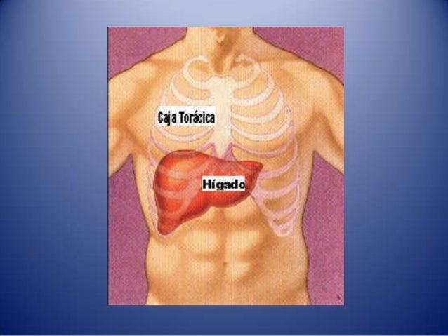 El higado, el pancreas y el bazo