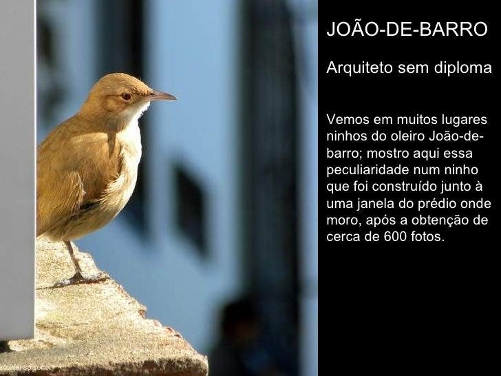 JOÃO-DE-BARRO Arquiteto sem diploma Vemos em muitos lugares ninhos do oleiro João-de-barro; mostro aqui essa  peculiaridad...