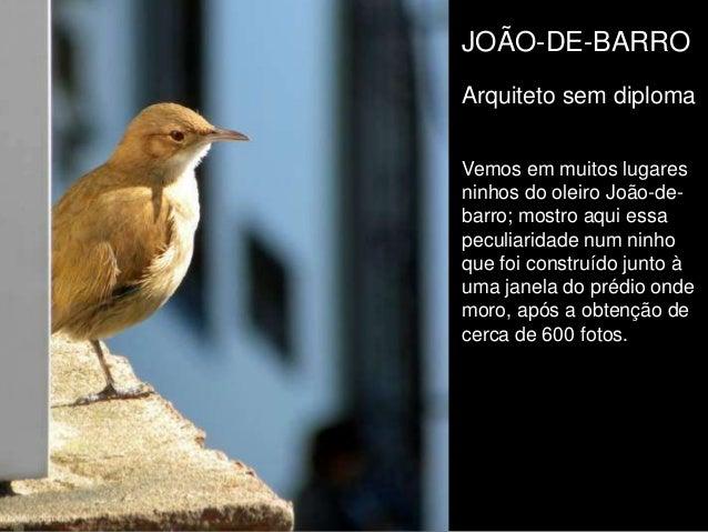 JOÃO-DE-BARRO Arquiteto sem diploma Vemos em muitos lugares ninhos do oleiro João-de- barro; mostro aqui essa peculiaridad...