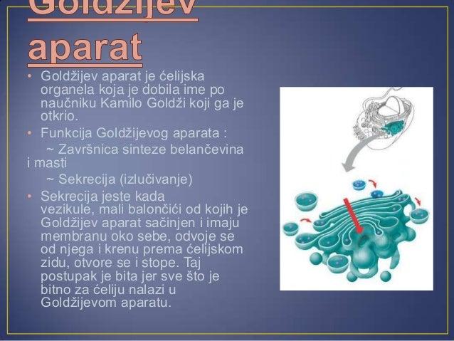 • Ribozomi su male granulekoje učestvuju u sinteziproteina.• Ribozomi se nalaze i u nekimorganelama kao što suplastidi, mi...