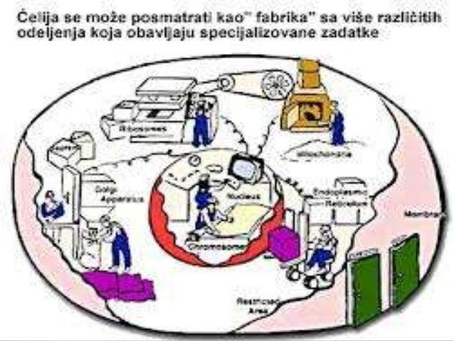 • Na površini svake ćelije nalazi sećelijska membrana.• Ćelijska membrana sačinjena je oddva slojamasti (fosfo – liipidi) ...