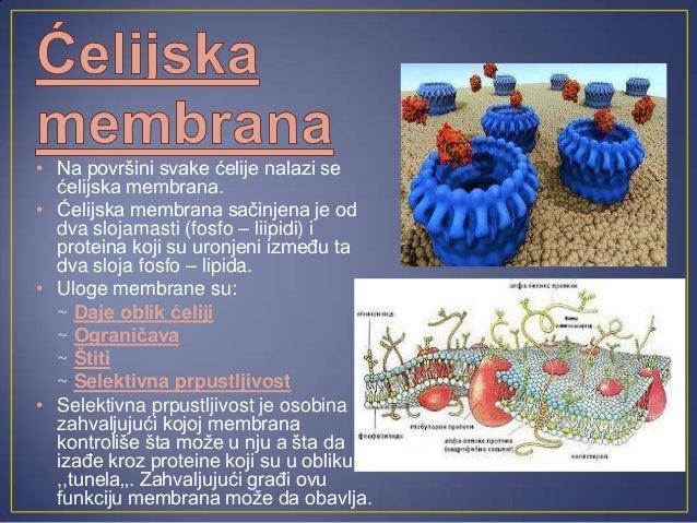 • Citoplazma predstavljaunutrašnji sadržaj ćelije, odvojenod jedra, u kome se nalazećelijske organele.• U obliku želatina ...
