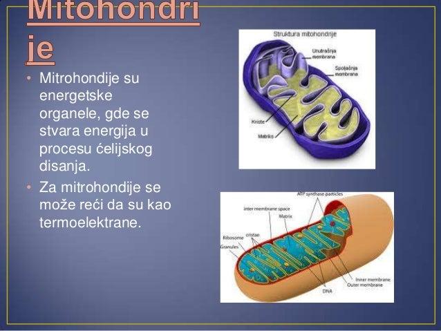 • U jedru se nalazi DNK u kojoj suskladištene informacije o građi ifunkcionisanju ćelije.• U jedru su skladištene sve potr...