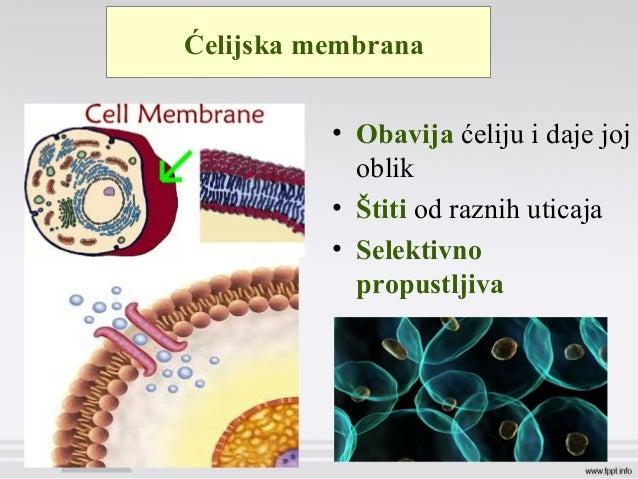 Ćelijska membrana • Obavija ćeliju i daje joj oblik • Štiti od raznih uticaja • Selektivno propustljiva