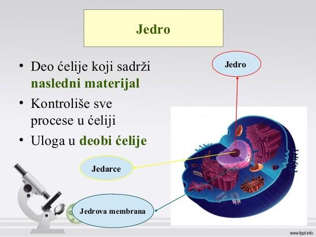 Jedro • Deo ćelije koji sadrži nasledni materijal • Kontroliše sve procese u ćeliji • Uloga u deobi ćelije Jedro Jedrova m...