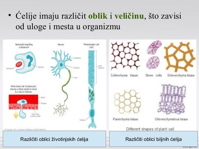• Ćelije imaju različit oblik i veličinu, što zavisi od uloge i mesta u organizmu Različiti oblici životinjskih ćelija Raz...