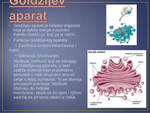 • Lizozomi imaju oblik kesica  obavijenih jednostrukom  membranom.• Nazivaju se '' organele za  varenje'' .• U njima se mo...