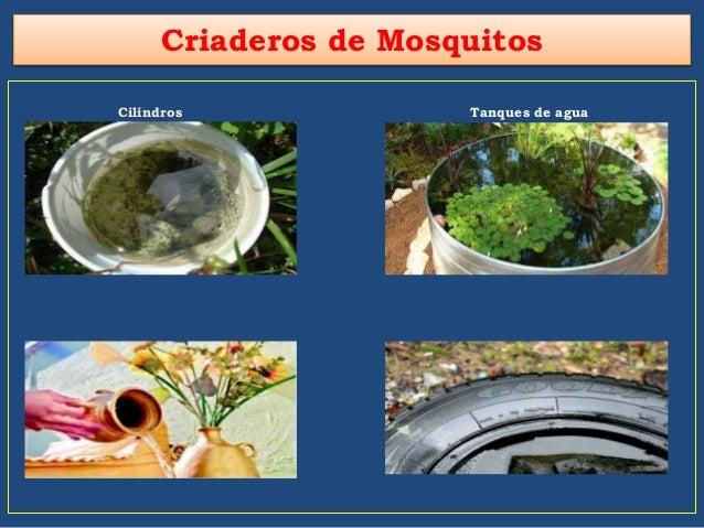 Eliminaci n de criaderos de mosquito for Criadero de cachamas en tanques