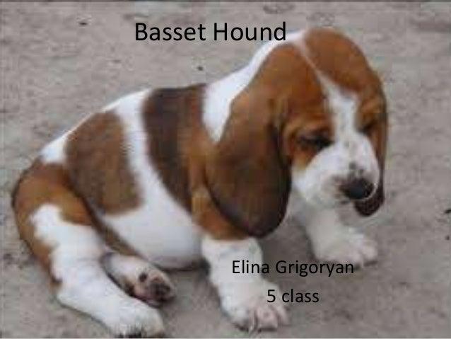 Basset Hound Elina Grigoryan 5 class