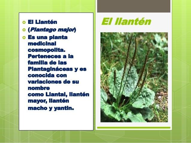El llant n for Planta decorativa con propiedades medicinales crucigrama
