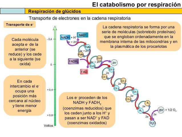 El metabolismo celular. catabolismo 2013