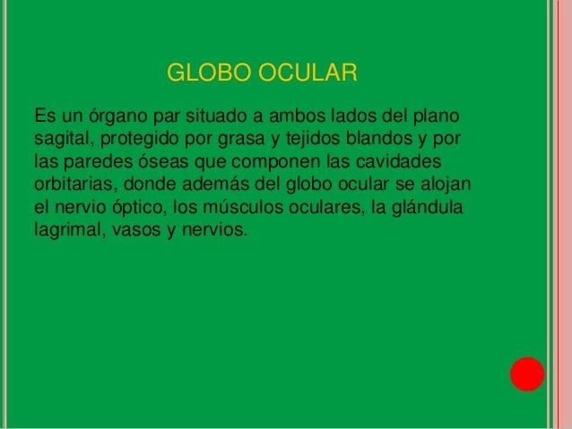 El ojo anatomia y fisiologia for Paredes orbitarias