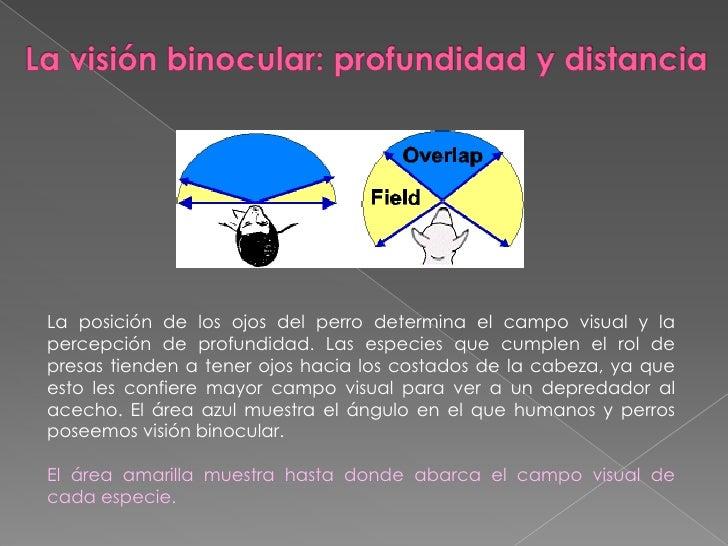 La visión binocular: profundidad y distancia<br />La posición de los ojos del perro determina el campo visual y la percepc...