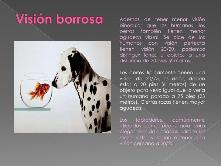 Visión borrosa<br />Además de tener menor visión binocular que los humanos, los perros también tienen menor agudeza visual...