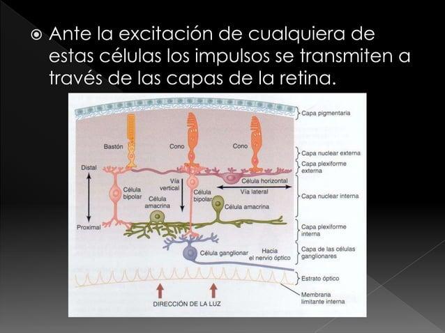 """ La importancia de la """"fóvea"""" de la retina radica en la visión aguda, se encuentra situada en el centro. Desplazando las ..."""
