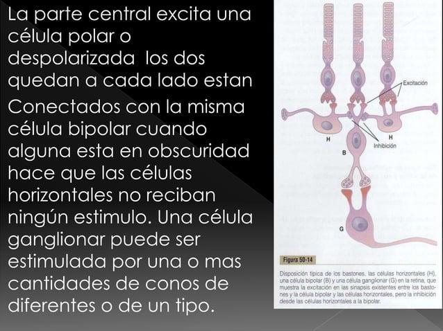 El ojo  funcion receptora y nerviosa de la retina FISIOLOGÍA HUMANA GUYTON