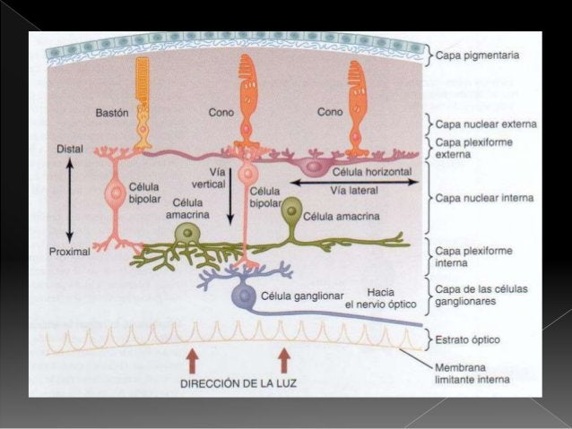  Arteria central: capas internas, penetra en el grupo central del globo ocular a través del nervio óptico.  La capa exte...