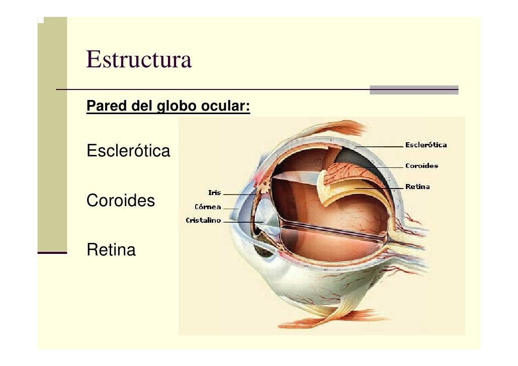 El ojo humano-felipe