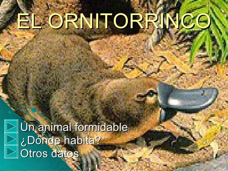 EL ORNITORRINCO <ul><li>Un animal formidable </li></ul><ul><li>¿Dónde habita? </li></ul><ul><li>Otros datos </li></ul>