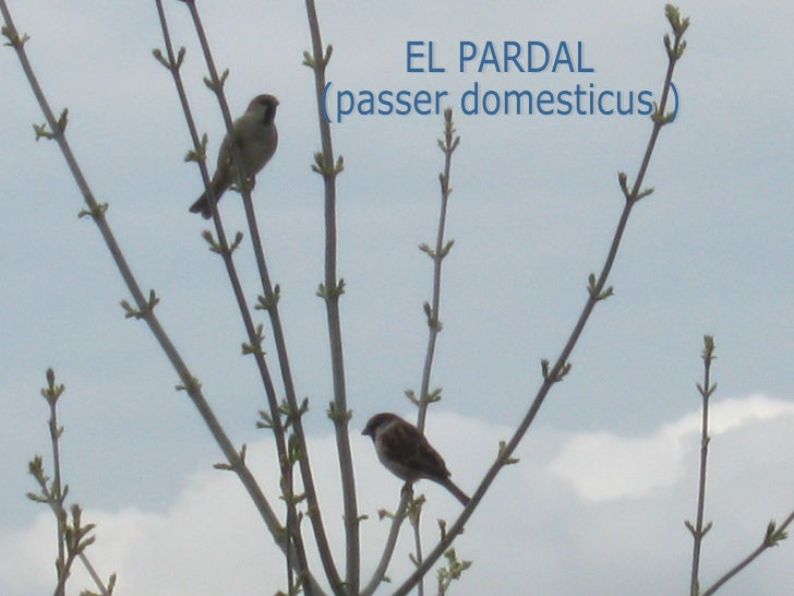 EL PARDAL (passer domesticus )