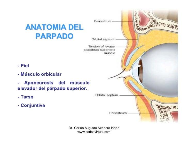 Excelente Elevador Del Párpado Superior Anatomía Ilustración ...