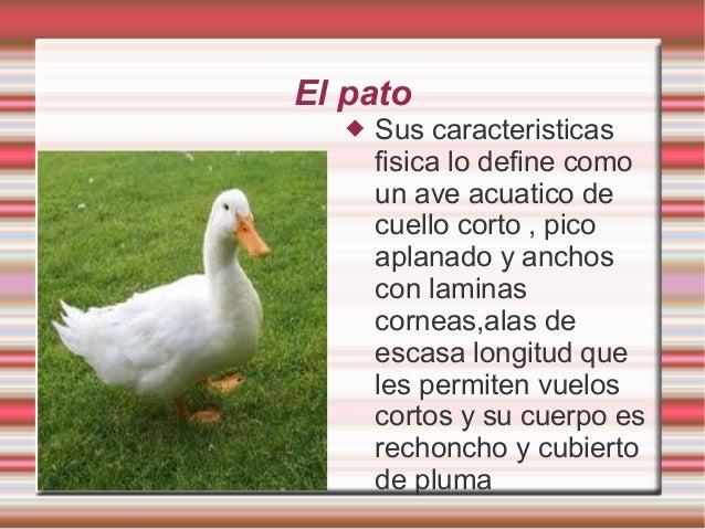 El pato  Sus caracteristicas fisica lo define como un ave acuatico de cuello corto , pico aplanado y anchos con laminas c...