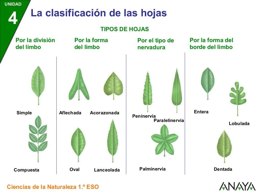 Las hojas for Tipos de hojas ornamentales