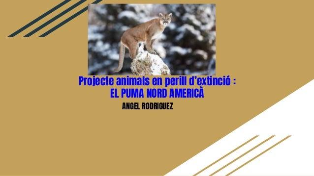 Projecte animals en perill d'extinció : EL PUMA NORD AMERICÀ ANGEL RODRIGUEZ