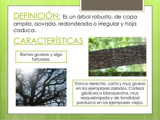 El roble quercus for Significado de un arbol sin hojas