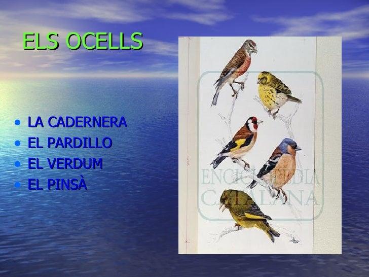 ELS OCELLS <ul><li>LA CADERNERA </li></ul><ul><li>EL PARDILLO </li></ul><ul><li>EL VERDUM </li></ul><ul><li>EL PINSÀ </li>...