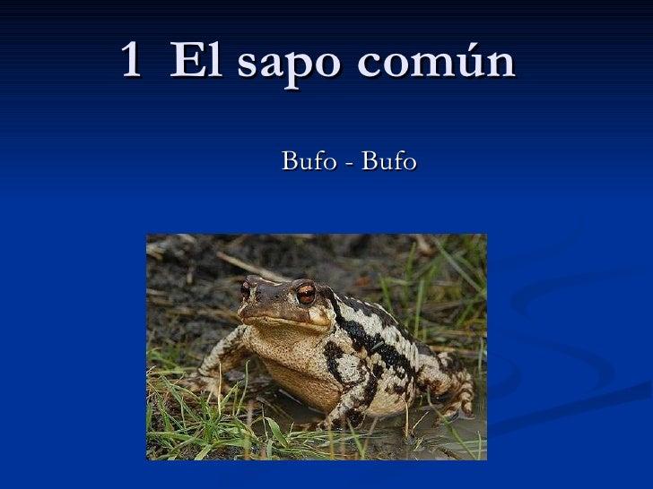 1  El sapo común Bufo - Bufo