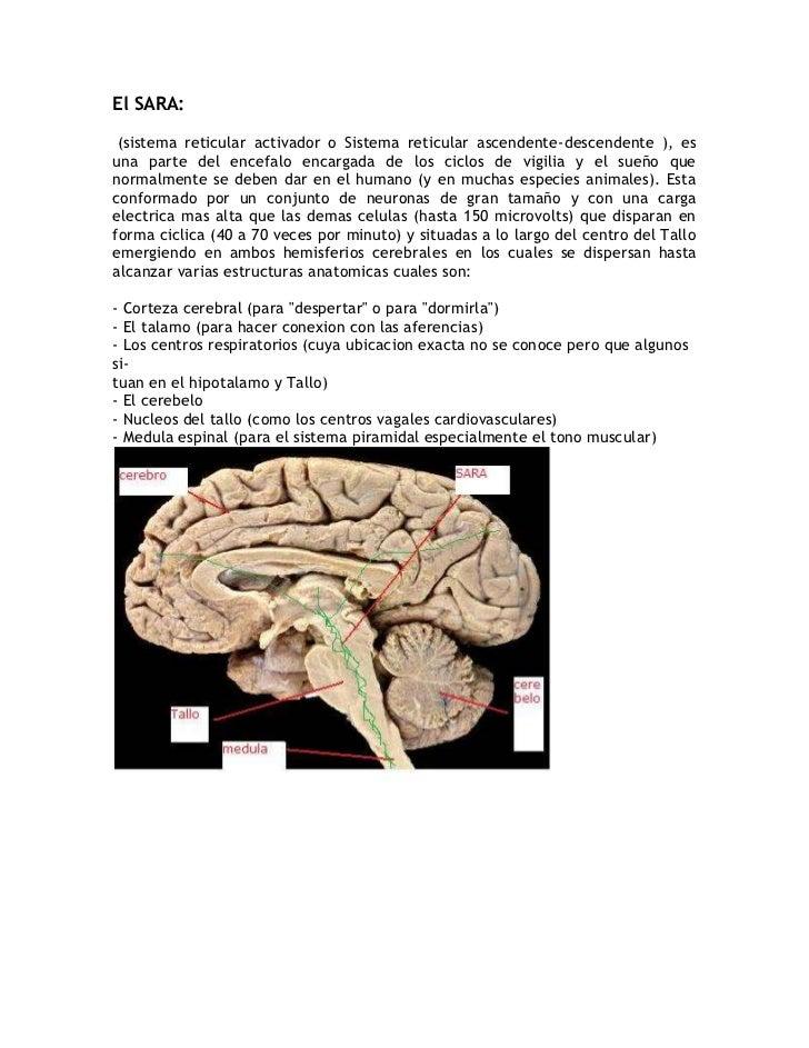 El SARA:<br /> (sistema reticular activador o Sistema reticular ascendente-descendente ), es una parte del encefalo encarg...