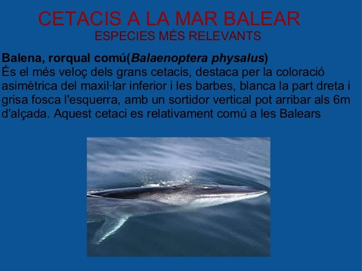 CETACIS A LA MAR BALEAR ESPECIES MÉS RELEVANTS Balena, rorqual comú( Balaenoptera physalus ) És el més veloç dels grans ce...