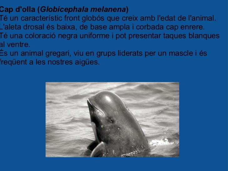 Cap d'olla ( Globicephala melanena ) Té un característic front globós que creix amb l'edat de l'animal. L'aleta drosal és ...