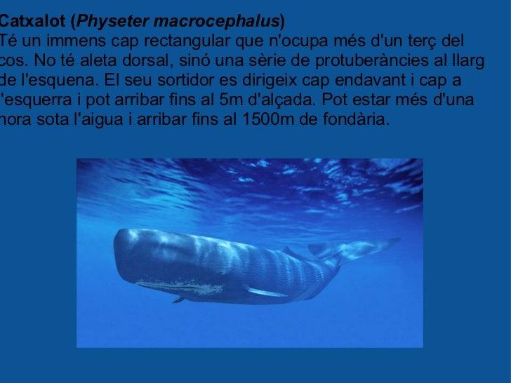 Catxalot ( Physeter macrocephalus ) Té un immens cap rectangular que n'ocupa més d'un terç del cos. No té aleta dorsal, si...