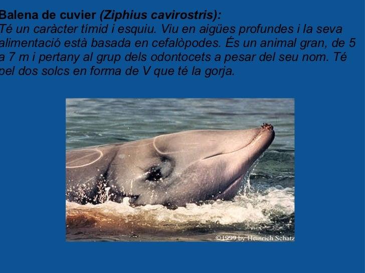 Balena de cuvier  (Ziphius cavirostris): Té un caràcter tímid i esquiu. Viu en aigües profundes i la seva alimentació està...