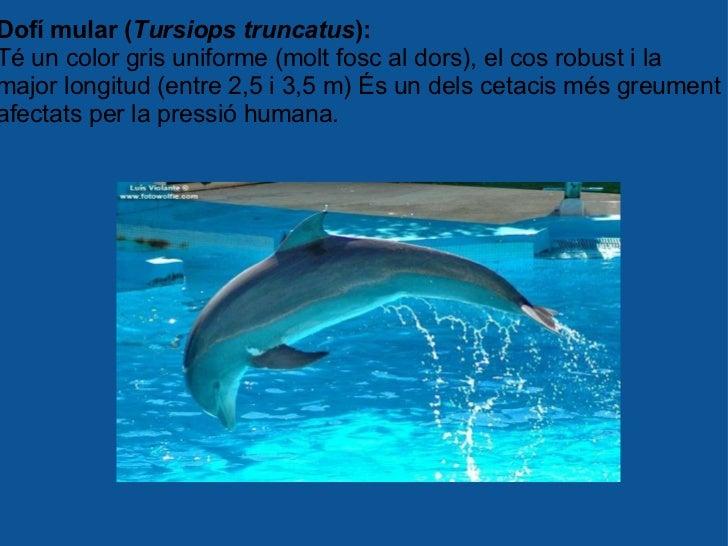 Dofí mular ( Tursiops truncatus ): Té un color gris uniforme (molt fosc al dors), el cos robust i la major longitud (entre...