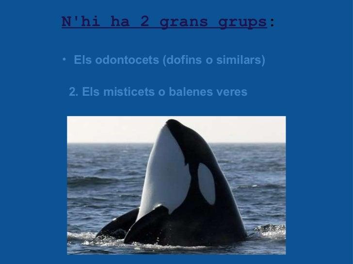 N'hi ha 2 grans grups : <ul><ul><li>Els odontocets (dofins o similars) </li></ul></ul><ul><li>  </li></ul>2. Els misticet...