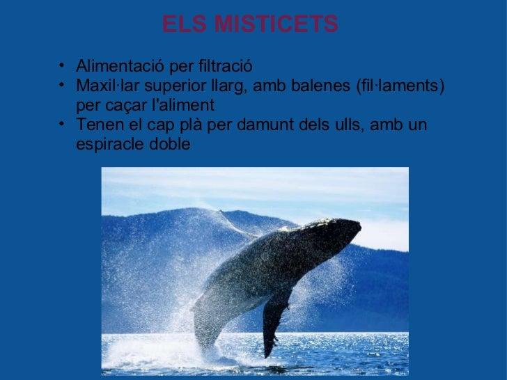 ELS MISTICETS <ul><ul><li>Alimentació per filtració </li></ul></ul><ul><ul><li>Maxil·lar superior llarg, amb balenes (fil·...