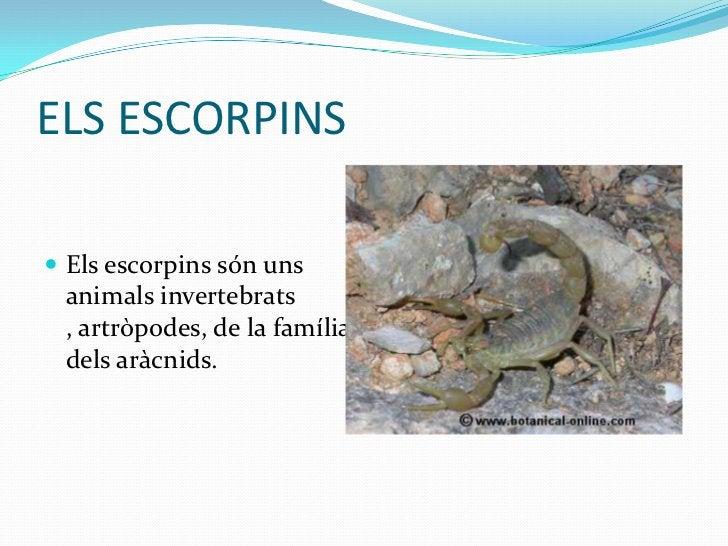 ELS ESCORPINS Els escorpins són uns animals invertebrats , artròpodes, de la família dels aràcnids.