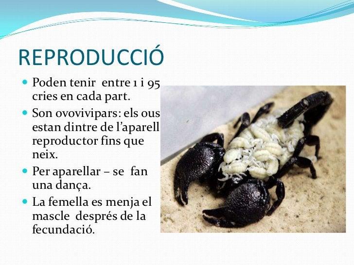REPRODUCCIÓ Poden tenir entre 1 i 95  cries en cada part. Son ovovivipars: els ous  estan dintre de l'aparell  reproduct...