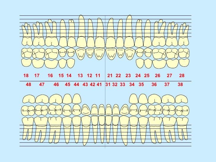 El sistema dentario 1