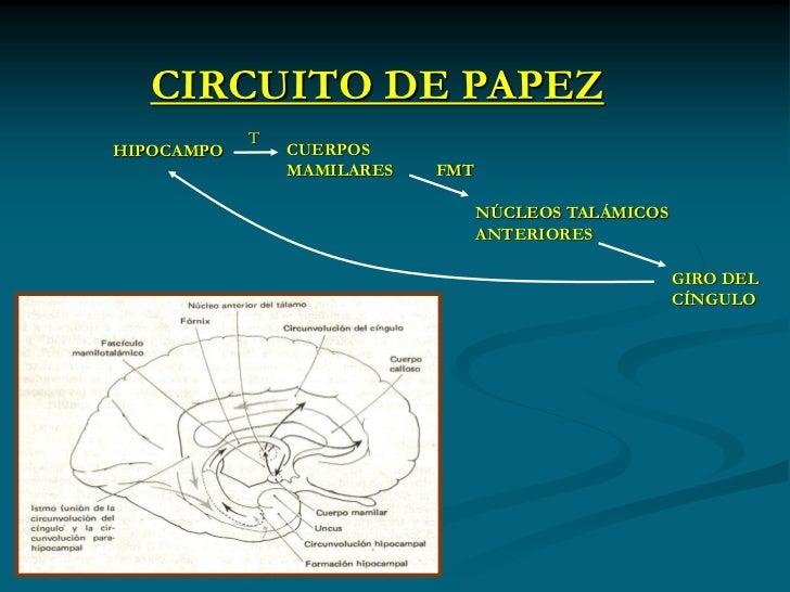 Circuito De Papez : El sistema límbico