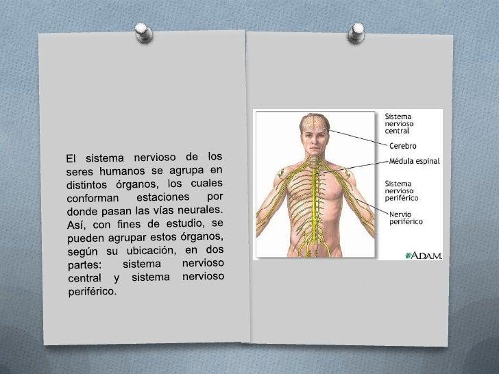 Sistema nervioso humano<br />