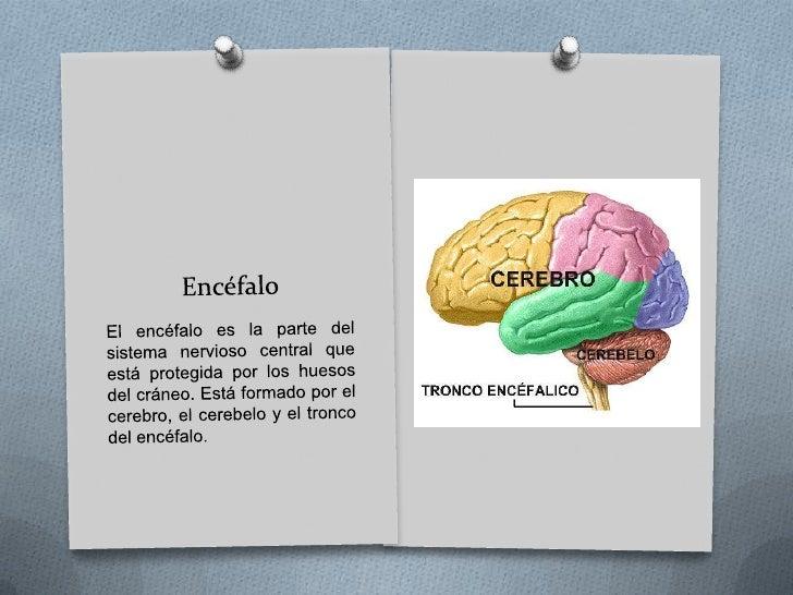 Sistema nervioso central<br />El sistema nervioso central está formado por el Encéfalo y la Médula espinal, se encuentra p...