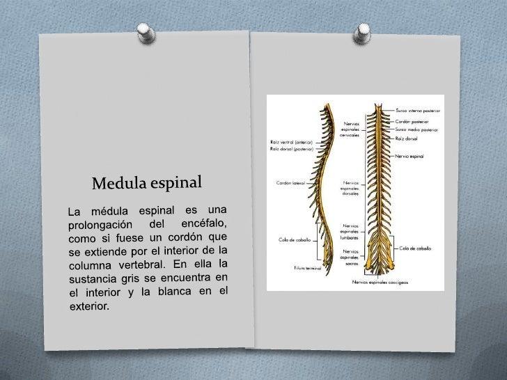 Cerebelo está en la parte inferior y posterior del encéfalo, alojado en la fosa cerebral posterior junto al tronco del enc...