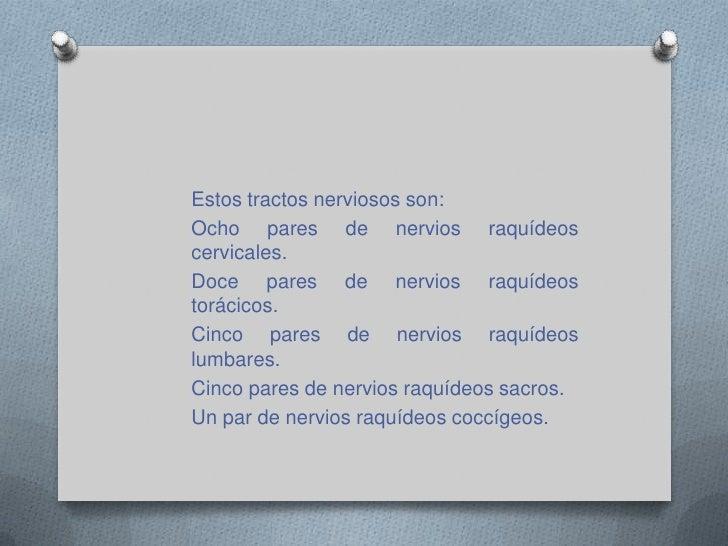 Nervios espinales<br />Los nervios espinales son 31 pares y se encargan de enviar información sensorial del tronco y las e...