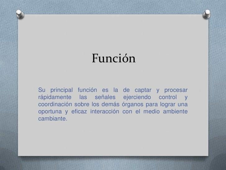 Función <br />Su principal función es la de captar y procesar rápidamente las señales ejerciendo control y coordinación so...