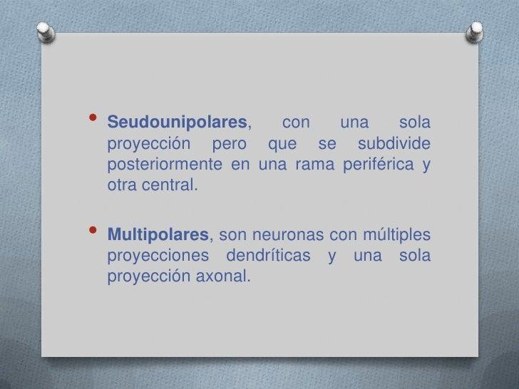 Bipolares, con dos proyecciones que salen del soma.</li></li></ul><li><ul><li>Seudounipolares, con una sola proyección per...
